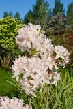 Beautiful rhododendron bloom in the garden. Summer plants bloom in my garden royalty free stock photos