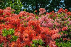 Beautiful rhododendron bush in summer garden. Stock Photography