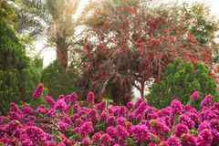 Beautiful rhododendron bushes in an arboretum outdoor park Stock Photography
