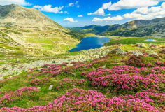 Beautiful rhododendron flowers and Bucura mountain lakes,Retezat mountains,Romania. Glacier lake,high mountains and magical pink rhododendron flowers,Retezat royalty free stock photography