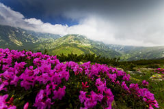 Beautiful Rhododendron Flowers In High Mountains Royalty Free Stock Photo