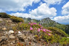 Beautiful rhododendron flowers and spring landscape in Ciucas mountains,Romania. Stock Photo