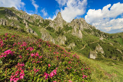 Beautiful rhododendron flowers and summer landscape in Ciucas mountains,Romania Royalty Free Stock Photo