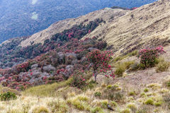 Beautiful rhododendron forests Stock Image