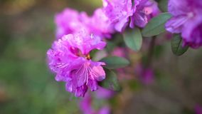 Beautiful Rhododendron stock video footage