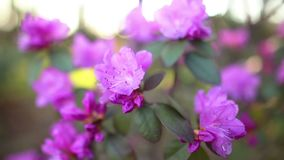 Beautiful Rhododendron stock video