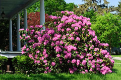 Beautiful Rhododendron Royalty Free Stock Photo