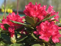 Beautiful Rhododendron with red bud. Stock Photography