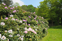 Rhododendrons in parc Royalty Free Stock Photos