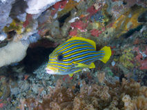 Beautiful ribboned sweetlips, Raja Ampat, Indonesia Stock Photo
