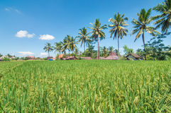 Beautiful Rice farms in community. Royalty Free Stock Image