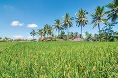Beautiful Rice farms in community. Beautiful and clean Rice farms in the surrounding community Royalty Free Stock Image
