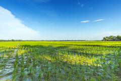 Beautiful rice field Royalty Free Stock Photo