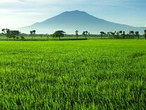 Beautiful rice field Stock Photo
