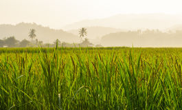 Beautiful rice field in local country Thailand. Beautiful rice field and sunset in local country Thailand royalty free stock images