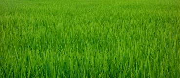 Beautiful rice field in the morning with dew drops on rice leaves stock image