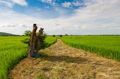 Beautiful rice field over blue sky Royalty Free Stock Photography
