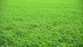 Beautiful rice field swaying in the wind. stock video