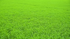 Beautiful rice field swaying in the wind. stock video footage