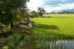Beautiful rice field in thailand. Rice field with blue sky at Lamphun in Thailand Stock Images