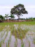 Beautiful rice field with trees as background. Beautiful rice field with trees and plants as background Royalty Free Stock Image