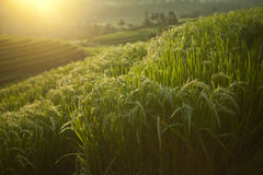 The beautiful rice fields, Bali, Indonesia Royalty Free Stock Photo