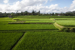 The beautiful rice fields, Bali, Indonesia. PENESTANANE KAJA, UBUD REGENCY, BALI, INDONESIA - MARCH 22, 2012. Lush Green Paddy Field Royalty Free Stock Image