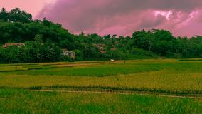 Beautiful of rice fields and greenery extends with pastel clouds. stock image