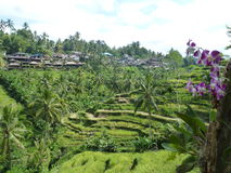 Beautiful rice fields of Tegalalang, Bali, Indonesia Royalty Free Stock Photos