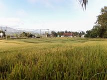 Rice fields in Thai. Rice fields in the Thai winter stock image