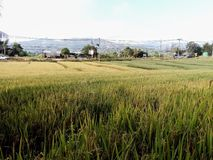 Rice fields in Thai. Rice fields in the Thai winter royalty free stock photography