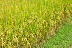 The beautiful rice fields in Thailand Stock Photography