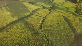 Beautiful Rice Paddy Fields in Ubud, Bali. Popular Touristic Tegalalang Terraces Aerial Drone View During Sunrise. 4K Slow Motion. Beautiful Rice Paddy Fields stock video footage