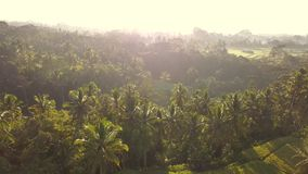 Beautiful rice paddy fields in Ubud, Bali. Popular Touristic Tegalalang Terraces Aerial Drone View During Sunrise. 4K Slow Motion. Beautiful Rice Paddy Fields stock video