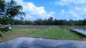 Beautiful rice plantation with birds and palm trees in background stock video footage