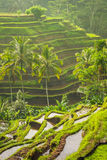 Beautiful Rice Terraces In The Moring Light, Bali, Indonesia Royalty Free Stock Photos