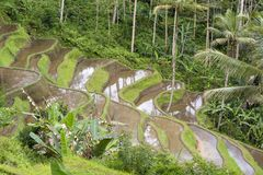 Beautiful rice terraces in island Bali, Indonesia Royalty Free Stock Photography