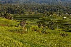 Beautiful rice terraces in Jatiluwih, Bali Royalty Free Stock Photos