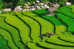 Beautiful rice terraces in Sapa,Vietnam Royalty Free Stock Image