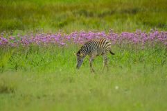 Beautiful Rietvlei nature reserve near Pretoria and Centurion lined with purple pompom weeds Campuloclinium macrocephalumroot. Beautiful Rietvlei nature reserve royalty free stock photos