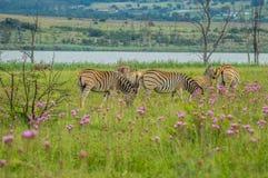 Beautiful Rietvlei nature reserve near Pretoria and Centurion lined with purple pompom weeds Campuloclinium macrocephalumroot. Beautiful Rietvlei nature reserve royalty free stock image