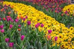 Beautiful Riga tulips. Stock Images
