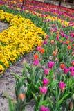Beautiful Riga tulips. Stock Image