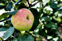 Beautiful ripe apple on a green branch. Royalty Free Stock Photography