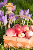 Beautiful ripe apples Royalty Free Stock Image