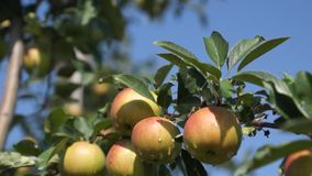 Beautiful and ripe apples. Apple tree in the garden. stock video footage