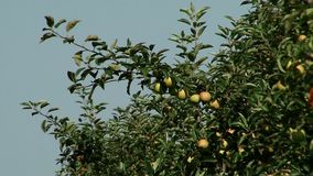 Beautiful and ripe apples. Apple tree in the garden. stock footage