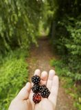 A beautiful ripe berry of blackberries, lying in the palm of your hand, against the background of green trees in the Dutch city of royalty free stock photography