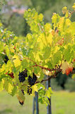 Beautiful ripe black grapes in sunny vineyard. Bunches of ripe black grapes hang in a sunny vineyard in Italy Royalty Free Stock Photography