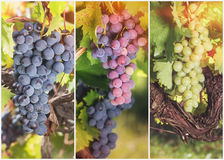 Beautiful ripe bunch grapes collage Royalty Free Stock Images